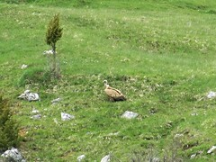 Griffon vulture on a slope at Uvac Nature Reserve, Serbia (Paul McClure DC) Tags: uvac naturereserve serbia srbija zlatibor druinie sjenica balkans may2016 animals bird vulture