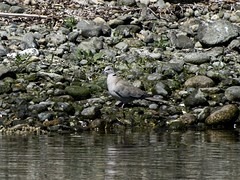 Eurasian Collared-Dove (David Badke) Tags: colwood bc bird