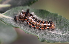"""Acronicta rumicis"" - zuringuil (bugman11) Tags: acronictarumicis zuringuil canon 100mm28lmacro insect insects animal animals bug bugs fauna nederland thenetherlands nature macro leaf leaves 1001nights caterpillar caterpillars 1001nightsmagiccity thegalaxy platinumheartaward infinitexposure ruby3 autofocus"