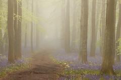 Springtime Memories (hammermad) Tags: spring sunrise springtime forest ashridgeforest morning fog foggy trees tree path light colour