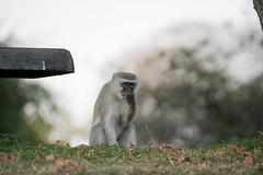 Vervet Speaks No Evil (XNBZ) Tags: zambia zambezi africa zambeziriver