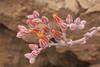 Dudleya lanceolata, Lanceleaf Liveforever, Southern California Dudleya (marlin harms) Tags: dudleyalanceolata lanceleafliveforever southerncaliforniadudleya dudleya