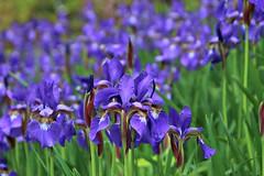 50/115 Interpretation of a Famous Painting: Irises by Vincent Van Gogh (Bella Lisa) Tags: iris painting famous irises ris vincentvangoph 115picturesin2015