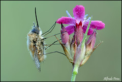 Systoechus ctenopterus (alfvet) Tags: macro primavera nature ngc natura bugs npc insetti sigma150 parcodelticino veterinarifotografi