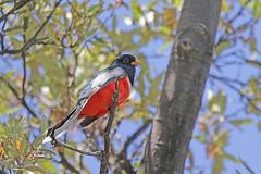 Elegant Trogon (Alan Gutsell) Tags: bird birds wildlife elegant trogon naturephoto eleganttrogon arizonabirds wildlifephoto alangutsell