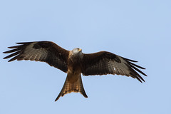 Red Kite (GaseousClay1) Tags: avian bird nature wildlife plumage habitat redkite milvusmilvus milreial rdglente rotmilan milanoreal isohaarahaukka milanroyal nibbioreale rodewouw glente milhafrereal rdglada