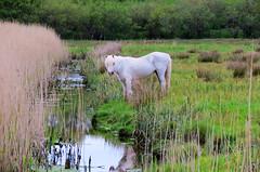 Pony - The Kerries - Tralee - Kerry - Ireland (DMC .) Tags: ireland irish white nature reeds landscape kerry pony tralee kerries