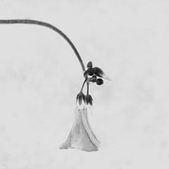 _NIK9952 (nikdanna) Tags: flower pentax clover fiore bianconero interno7 trifoglio blackwithe nikdanna