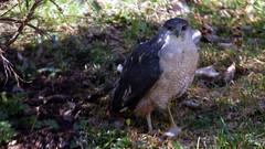 Cooper's Hawk, Home, 05/05/15 (TonyM1956) Tags: tonymitchell duluth stlouiscounty minnesota nature birds raptors acipiters hawks birdofprey coopershawk sonyphotographing sonyalphadslr