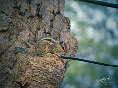 Only a matter of time before the TV cable is chewed apart by this little guy. (uz360) Tags: morning pakistan tree photography squirrel wildlife cable depthoffield chipmunk chew sindh bhitshah hx200v uzairqadri uz360arts