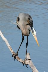 crouching heron (BobRobin) Tags: chicago heron birds lincolnpark greatblueheron northpond