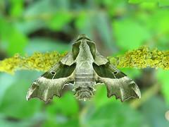 Proserpinus proserpina (Male) (Lepsibu) Tags: sphingidae