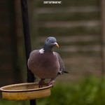 Pigeon perched on bird feeder
