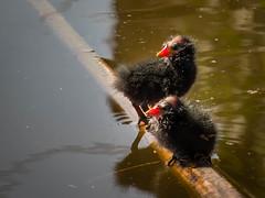 Baby Moorhen (RikRik75) Tags: baby bird chicken water canon young swamp common moorhen waterhoen gallinula chloropus rallidae rallen sx50