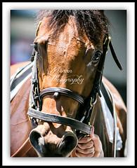 Lady Eli (EASY GOER) Tags: park horses horse ny newyork sports race canon athletics track belmont competition running racing 5d athletes races thoroughbred equine thoroughbreds competing belmontpark markiii