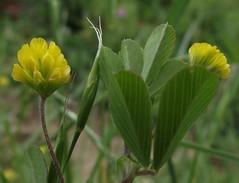 Trifolium dubium (Lesser Trefoil) - close-up, Beech Farm, St Albans, Herts, 1.6.15 (respect_all_plants) Tags: wildflowers hertfordshire stalbans herts trifoliumdubium beechfarm lessertrefoil