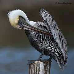 """Where did I put my cell phone?"".........D800 (Larry Daugherty) Tags: nature nikon ngc aves pelican npc brownpelican animalia d800 pelecanidae pelecaniformes pelecanusoccidentalis chordata divingbird southeastlouisiana poccidentalis nikond800 nikon500mmf4lens"