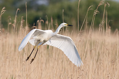 Great white egret #1 of 3 (Steve Balcombe) Tags: uk morning light white bird reeds alba great somerset ardea egret levels reedbed rspb hamwall avalonmarshes