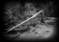 Dead trees (martin.bruntnell) Tags: deadtrees riverstour cradleyheath corngreavespark