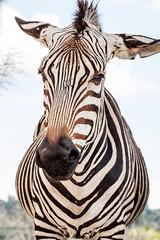 Zebra _0864 (hkoons) Tags: mexico drive stripes zebra puebla beasts drivethrough africansafari africam burchellszebra equusburchellii stateofpuebla