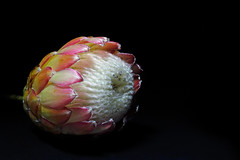 366 - Image 148 - Protea flower... **Explored** (Gary Neville) Tags: sony photoaday 365 mk3 2016 366 garyneville rx100 365images 366images sonycybershotrx100 sonycybershotrx100iii