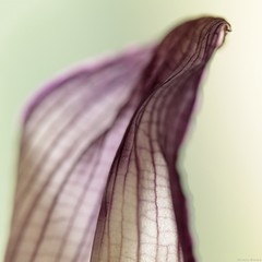 (Christelle Diawara) Tags: flower macro fleur petal 60mm curcuma anythinggoes ptale macromondays canon600d