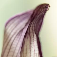 (Christelle Diawara) Tags: flower macro fleur petal 60mm curcuma anythinggoes pétale macromondays canon600d