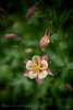 Working in the backyard today ~ Explorer (d_russell) Tags: flower columbine johnsoncounty ef24105mmf4 canon5dmarkiii