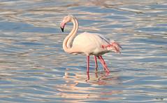 Twin flamingos! (Amro Afifi) Tags: closeup flamingo twin colourful amroafifi