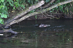 European otter (Lutra lutra) with lamprey (6) (Geckoo76) Tags: river otter lamprey europeanotter