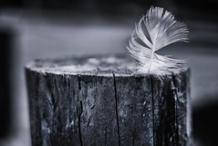 Captured (Chipyluna) Tags: wood light blackandwhite bw white blur texture nature monochrome 35mm outdoors nikon shadows dof post feathers feather monotone nikond3200 d3200