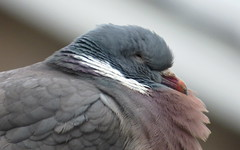 Ol' grumps. (Les Fisher) Tags: bird pigeon grumpy