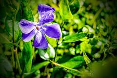 Photo of Pretty Purple Periwinkle