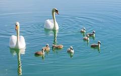 swan's family (14) (Vlado Ferenčić) Tags: birds animals swan lakes croatia swans animalplanet hrvatska nikkor8020028 nikond600 zaprešić swansfamily lakezajarki