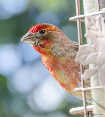 house finch (Pattys-photos) Tags: house finch