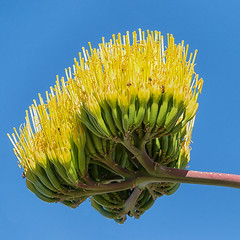 Agave americana (Joseph j7uy5) Tags: newmexico lascruces centuryplant agaveamericana mesquitehistoricdistrict