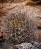 Neoporteria villosa (Umadeave) Tags: chile cactus montagne plante flora chili desert atacama flore villosa eriosyce neoporteria