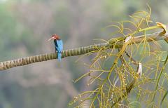 Kingfisher always ready to pose { got explored on 27 May 2016 at 481 then dropped } (@nikondxfx (instagram)) Tags: bird kingfisher morning park nikon tree branch nitya nitya800gmailcom photography flickr nikkor