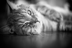 IMGL6920.jpg (k.jenchik) Tags: portrait bw pet cat canon meow bnw scotish 50mmf18 czj pancolar homepet scottishstraight