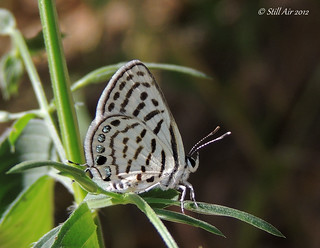 Tarucus extricatus (Rounded Pierrot) (I guess) (IN-A001)