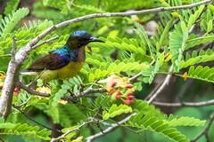 Souimanga  gorge brune (Philippe Lcuyer) Tags: bird nature thailand bangkok wildlife oiseau avifauna nectariniidae brownthroatedsunbird anthreptesmalacensis canon7dmarkii srinakornkuenkhanpark
