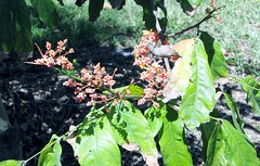 Saraca diversifolia 7004 (Tangled Bank) Tags: park county plant tree flora university florida miami arboretum tropical botany gifford dade 7004 diversifolia saraca