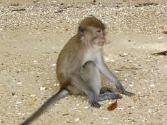 Koh Panak (Sea Kayaking), Thailand (Jan-2016) 21-040 (MistyTree Adventures) Tags: kohpanak kohpanakisland aophangnganationalpark seasia thailand phuket panasoniclumix outdoor phangngabay animal monkey macaque macaquemonkey