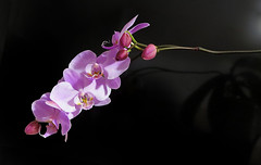 IMG_0378 my orchid. A gift for my 2010 birthday has bloomed again. (pinktigger) Tags: orchid pink flower nature
