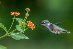 Female Hummingbird Feeding (Bill Varney) Tags: flower bird flying hummingbird feeding bokeh eating wildlife pollen lantana rubythroated bif billvarney