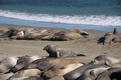 Adolescent elephant seal looking for a cozy spot (mb.j) Tags: elephant seal cambria california pacific
