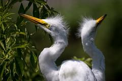 Great Egret, Orange County, FL [Explore 12 August 2016] (Blackrock23) Tags: florida greategret nikond4s nikon300mmpf