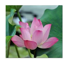 Sacred Lotus (Sun~Lover) Tags: lotus flower chicago botanicgardens gaertner aquatic plant lily water sacred perennial nelumbonucifera 2016 explore2016