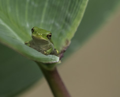 Tree Frog (6) (lpetterborg) Tags: waterlily dragonfly tree frog garland texas