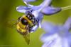 Bumble Bee (Baljinder.Gill) Tags: bees bumblebee bee beeonflower beemacro collectingpollen nikon nature naturephotography naturewildlife naturemacro wildlife wildlifephotography wildlifenature wildlifeupclose insect insectphotography insects